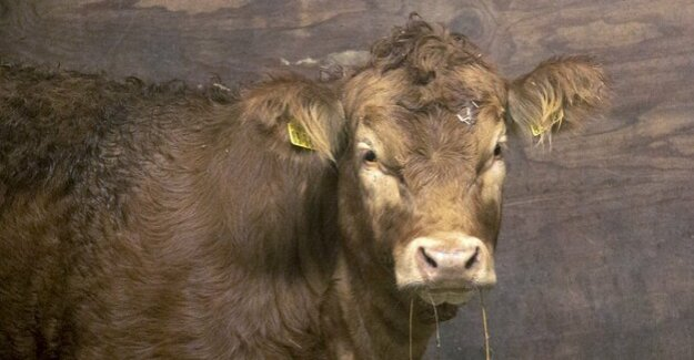 Lower Bavaria : cow Büxi has spent three months in the wild