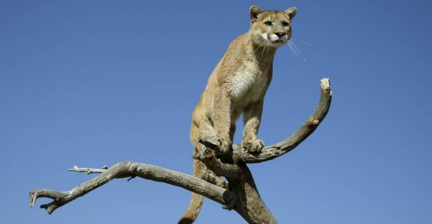Man was mauled by cougar: Killed it with his bare hands