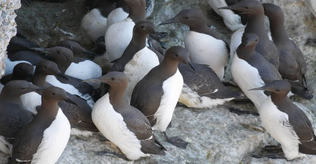 Mysterious mass death of guillemots in the North sea