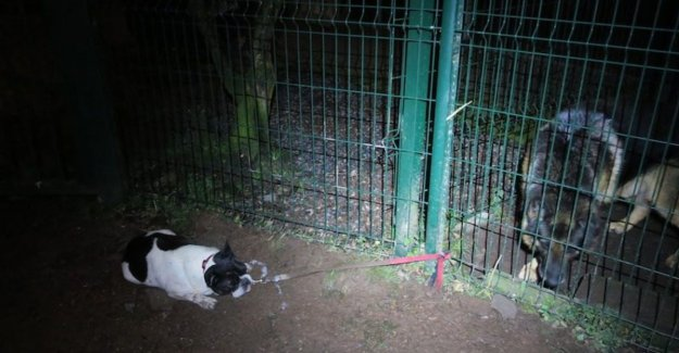 Neglected dog tied to fence of the asylum: terrified of the guard dog, exhausted and suffering from hypothermia