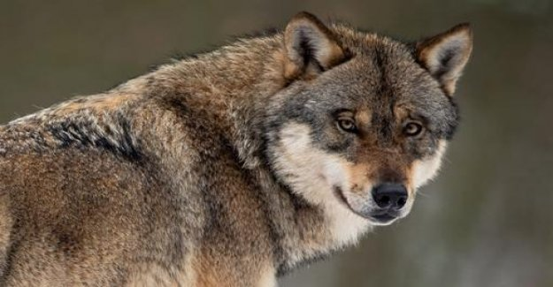 Number of attacks of wolves on livestock is increasing
