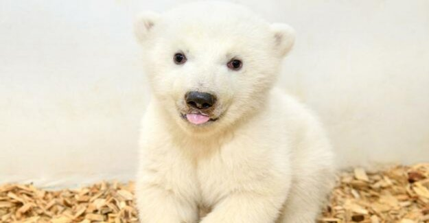 Polar bear baby in the zoo of Berlin : It is a large, strong, heavy girl