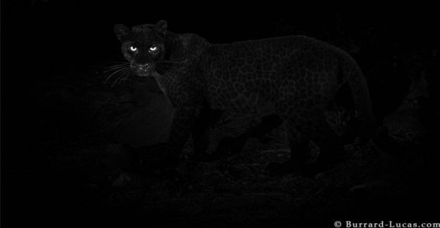 Sensational image: Rare panther goes into the photo-trap
