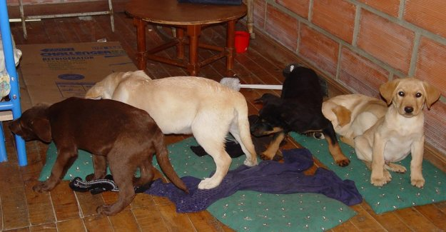 Smuggled heroin into the puppies - one is sentenced to prison