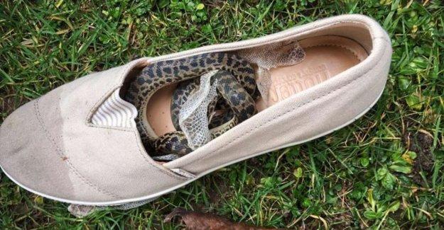 Snake travels 15,000 kilometres in shoe from Australia to Scotland
