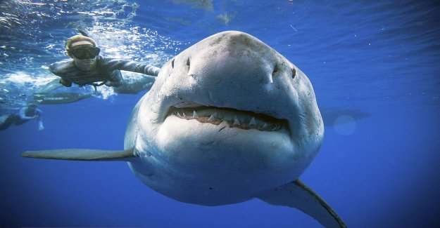 Study: great white shark has special healing abilities