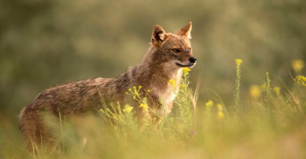 The Golden Jackal conquered Europe