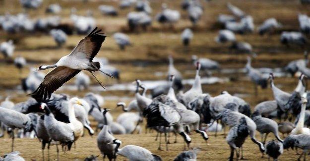 The first crane siktad at Lake hornborga