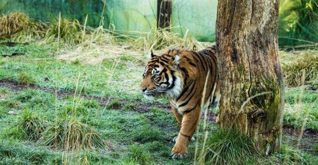 Tiger from the Danish zoo kills rare tiger at London Zoo