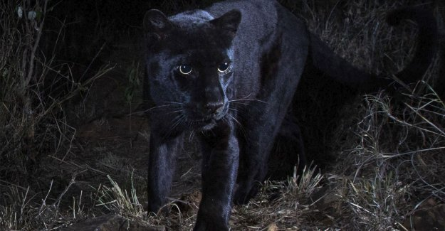 Unique picture: Panther photographed in Africa