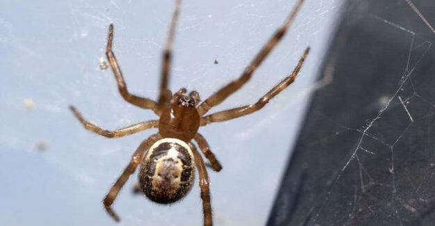 Widow-mobility : spinning'the passenger: False widow spread through the ornamental plant trade