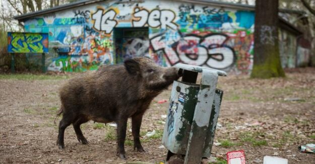 Wild boar plague : pig hunting with the bow and arrow