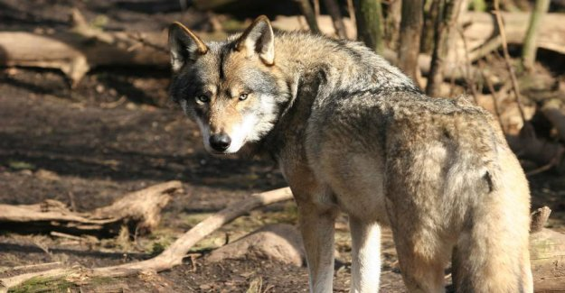 Wolf leaves Denmark: Draws the traces of the attack