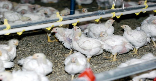 Alarm: Thousands of chickens harmed before slaughter