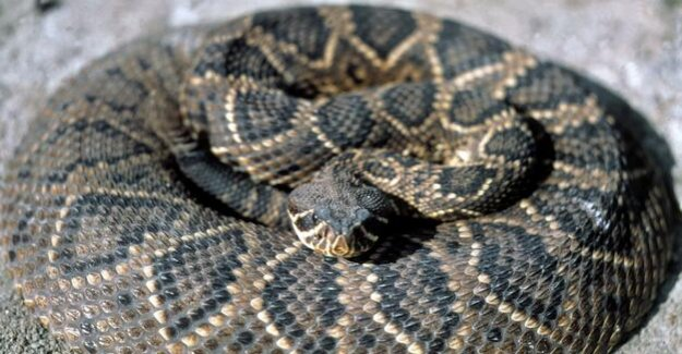 Dangerous animals in Texas : 45 of rattlesnakes under the house discovered