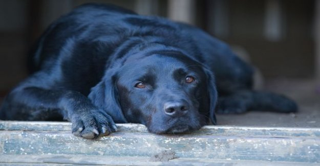 Dog helps a French child to testify in court - labrador started work at the legal assistant