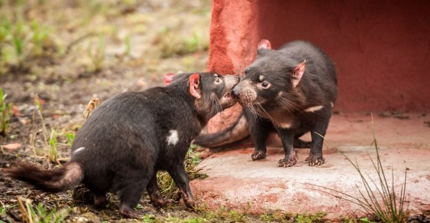 Immune system of critically endangered Tasmanian devils is now - successfully - cancer