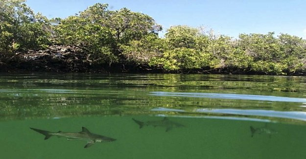 More sharks are deemed to be closer to extinction