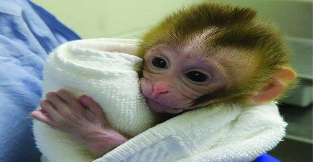 Newborn monkey gives new hope konstbefruktning