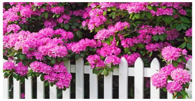 Rhododendrons and azaleas – how to succeed