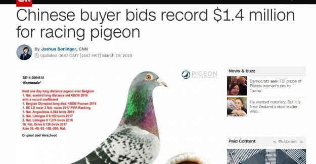 The Lewis Hamilton of pigeon racing: recordduif Armando is suddenly news from BBC to CNN