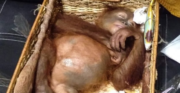 The tourist tried to smuggle sedated orangutan in the bag