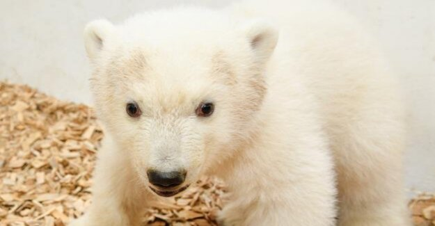 Tierpark Berlin : to see polar bear girl for the first Time for visitors