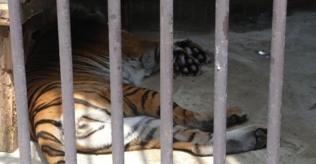Tiger, bears and monkeys for two months locked up in abandoned zoo