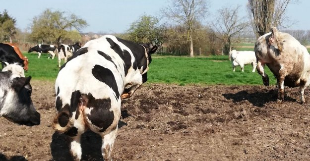 Video. 'Dancing' cows usher in the beginning of the spring in