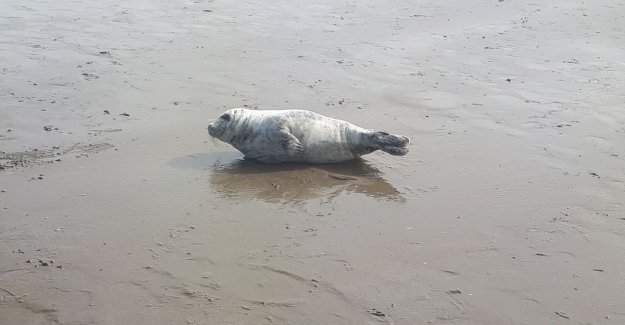 Young seal resting on the beach of Westende-Bad
