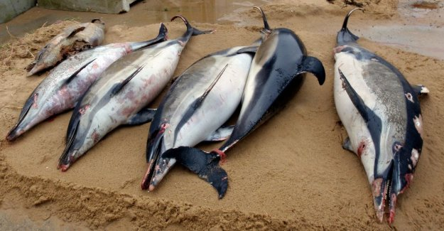 1.100 animals less than three months time: record number of dead dolphins washed ashore on the French coast