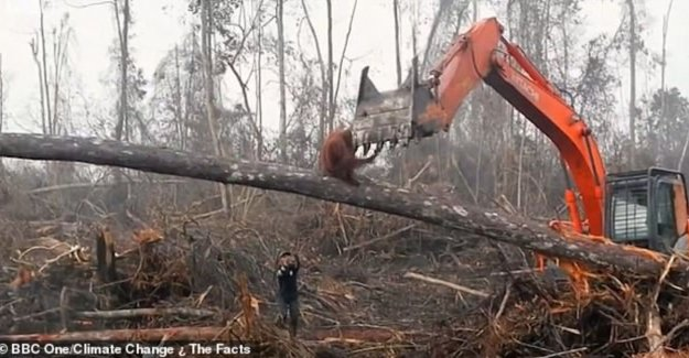BBC viewers shocked after seeing hopeless struggle orangutan against excavator