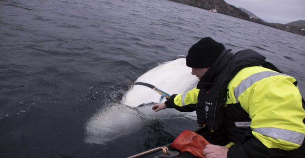 Beluga whale new sweetheart in Norway – despite spionrykte