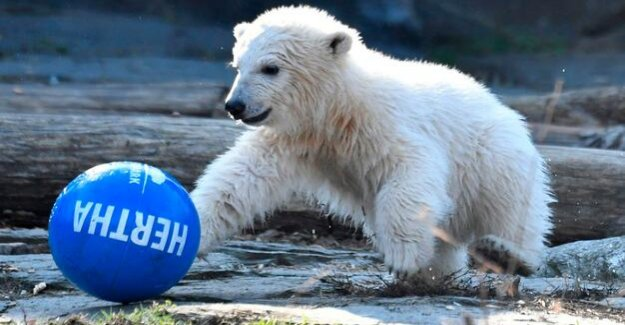 Berlin polar bears baby love evidence of Small-Hertha
