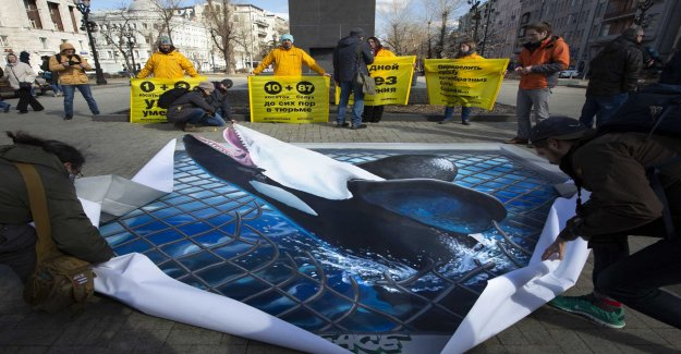 Chance to freedom for whales in Russian captivity