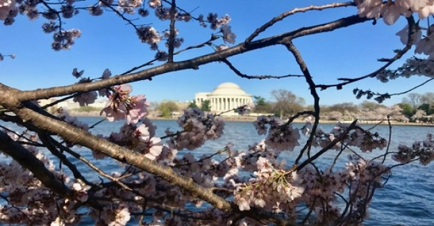 Climate change: Washington's famous cherry blossoms are threatened