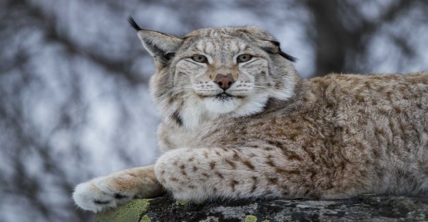 Critically get the lynx in Norrbotten