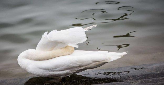 Dead birds poisoned by algae