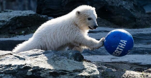 Debate on the polar bear-Name : Hertha? To me the toothbrush out of my Hand and fell