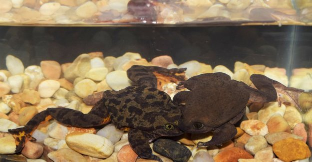 End good, all good for this Romeo and Juliet: the loneliest frog in the met are female