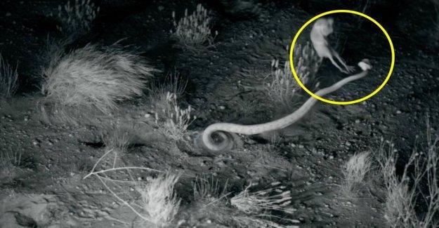 Fascinating video: Lightning-fast ninja-rats cheats rattlesnakes