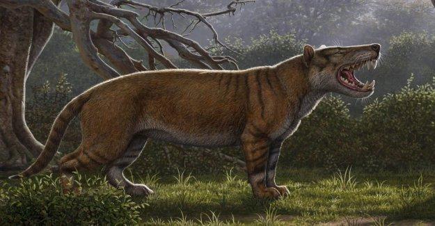 Forgotten fossil reveals kattliknande predators