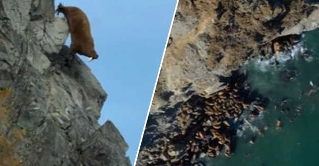 Hundreds of walruses fall to their doom from high cliffs by global warming