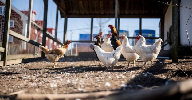 Insects can replace fish in the future of organic chicken feed