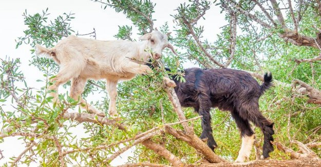 Lures money out of tourists: the Goats are forced to climb trees for photos