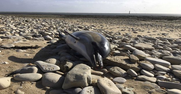 Maimed dolphin washes ashore in France