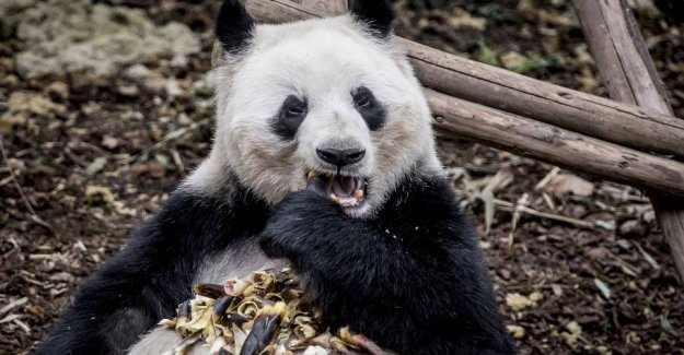 Pandas get 500 pounds of bamboo to Denmark as packed lunches
