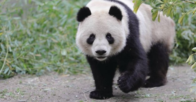 Pandas in the shitstorm: Stay in China