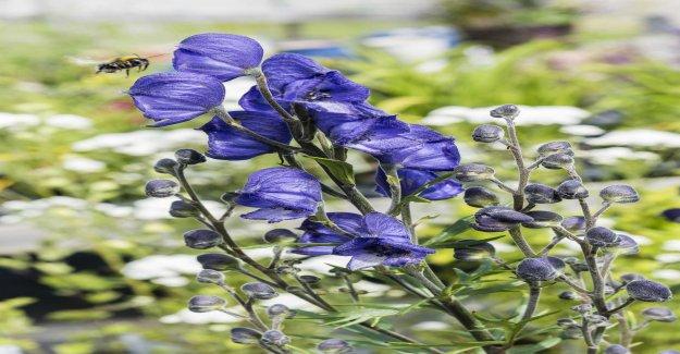 Poisonous plant was sold as kryddört