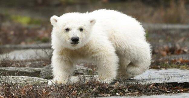 Polar bears-the girl in the animal Park Berlin : Hertha is coming!